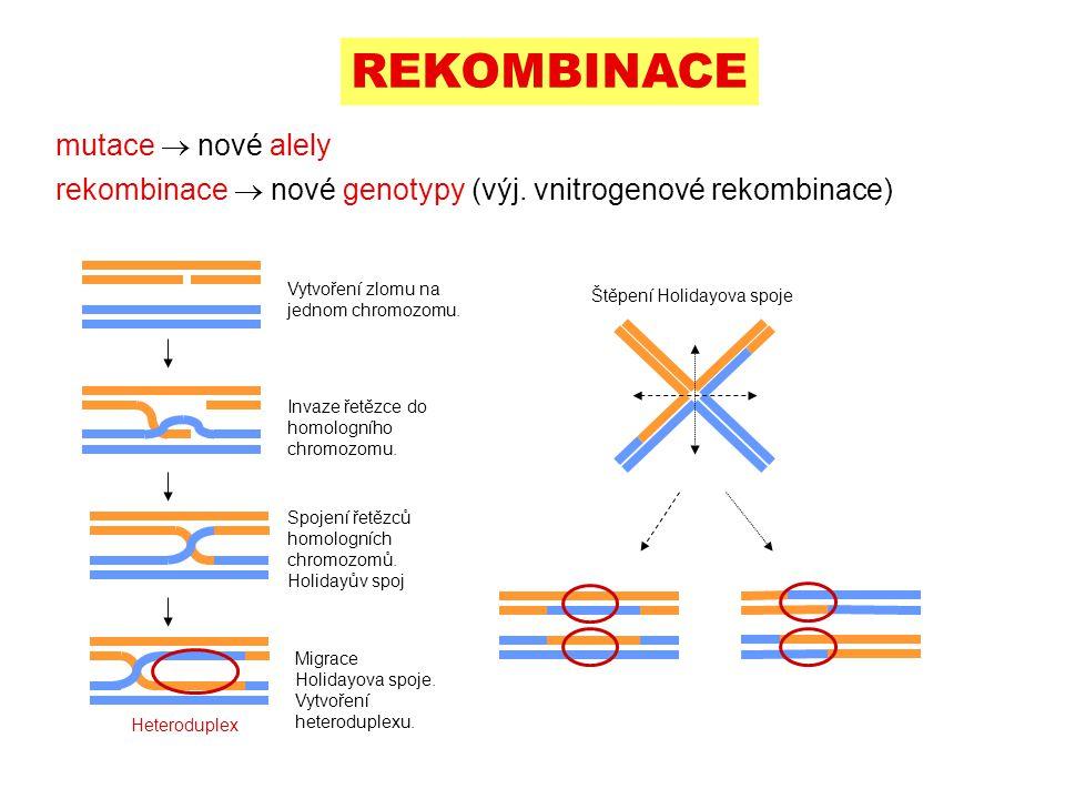 REKOMBINACE mutace  nové alely