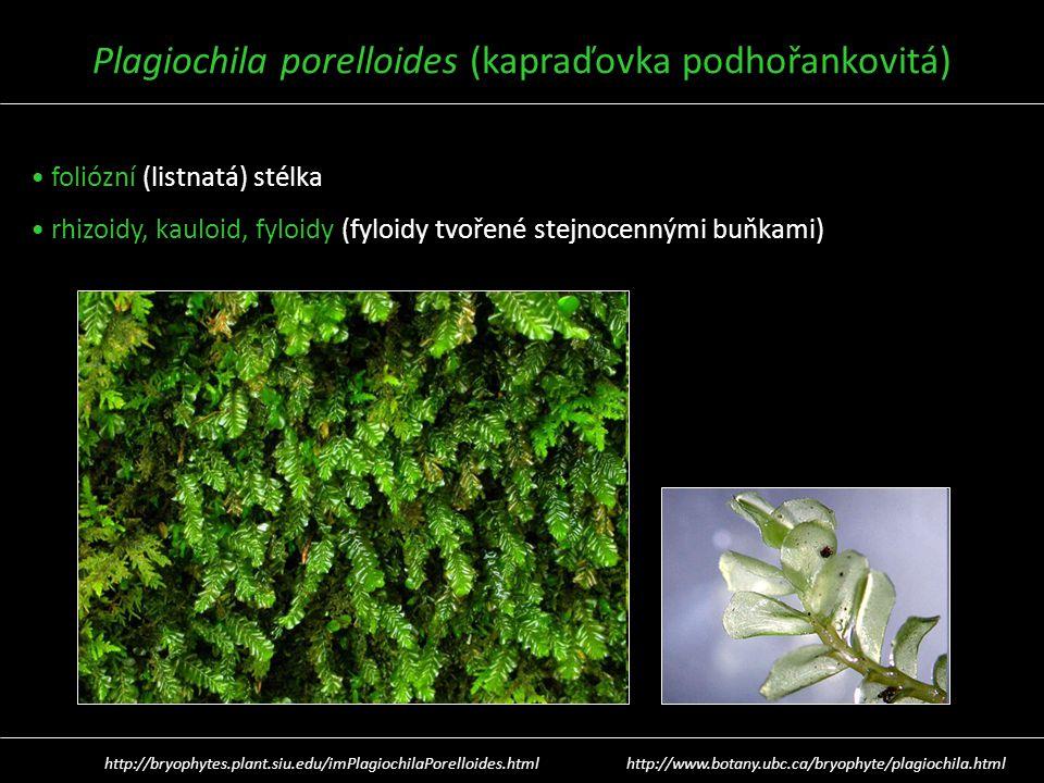 Plagiochila porelloides (kapraďovka podhořankovitá)