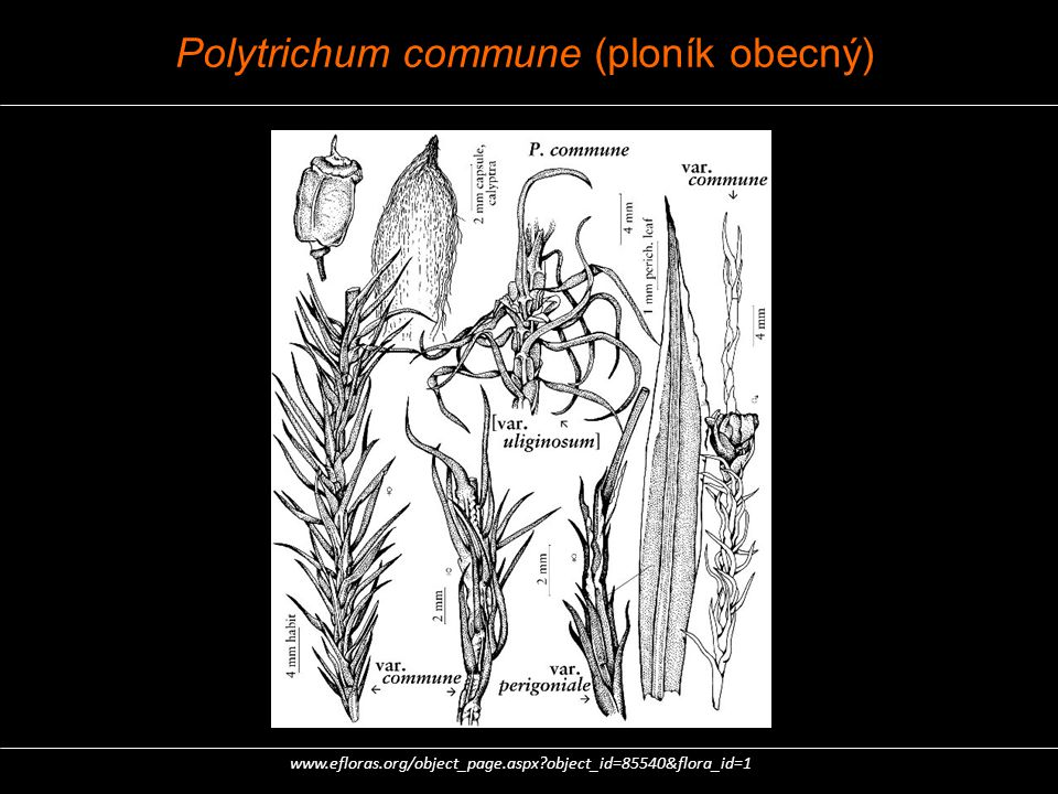 Polytrichum commune (ploník obecný)