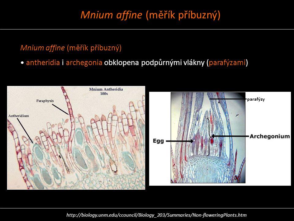 Mnium affine (měřík příbuzný)