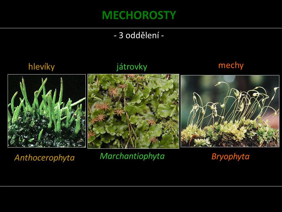 MECHOROSTY - 3 oddělení - hlevíky Anthocerophyta játrovky mechy
