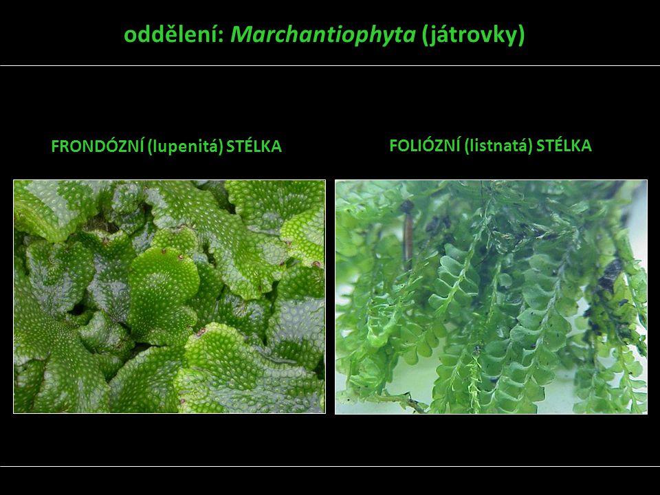 oddělení: Marchantiophyta (játrovky)