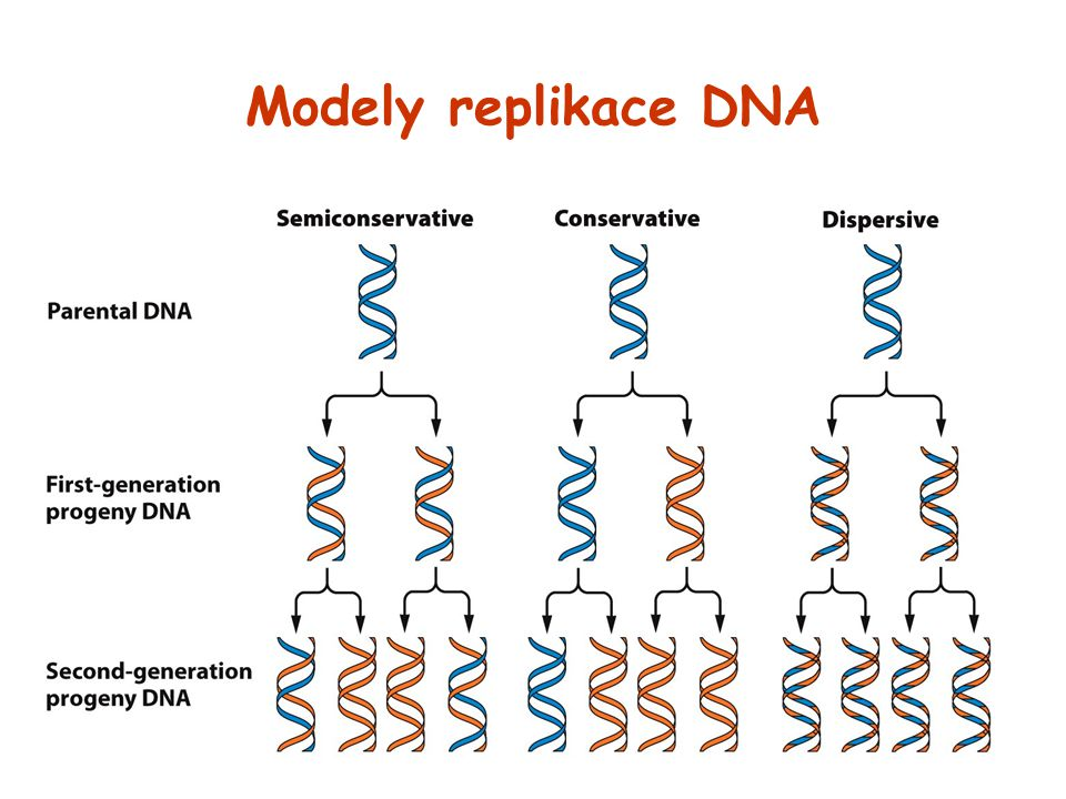Modely replikace DNA