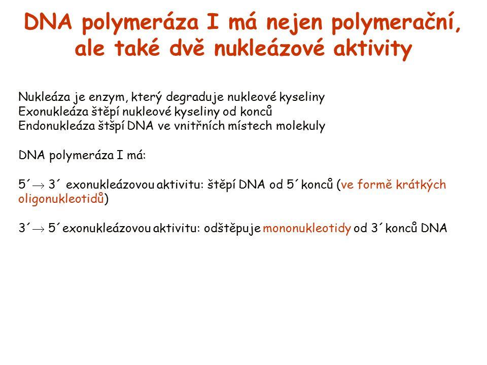 DNA polymeráza I má nejen polymerační, ale také dvě nukleázové aktivity