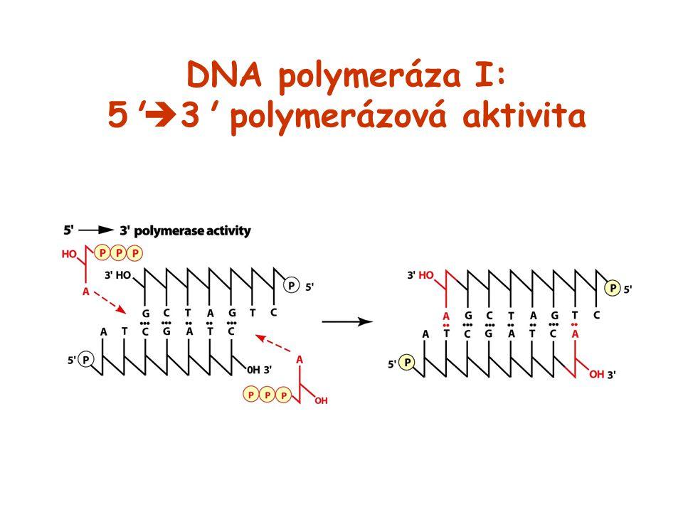 DNA polymeráza I: 5 3 polymerázová aktivita