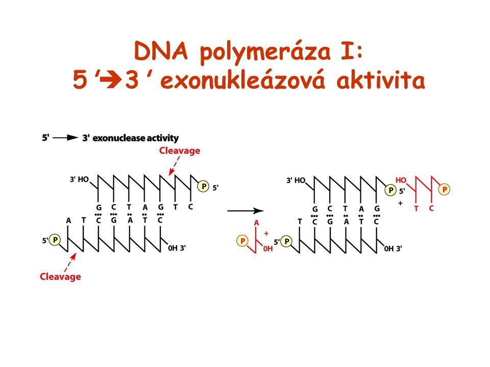 DNA polymeráza I: 5 3 exonukleázová aktivita