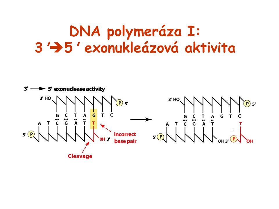 DNA polymeráza I: 3 5 exonukleázová aktivita