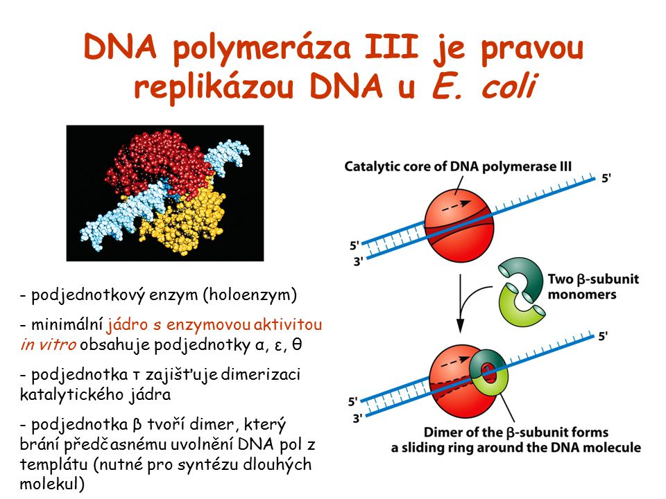 DNA polymeráza III je pravou replikázou DNA u E. coli