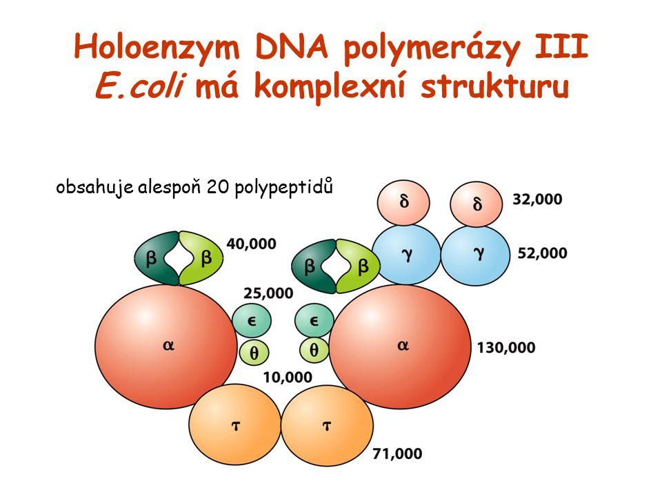 Holoenzym DNA polymerázy III E.coli má komplexní strukturu