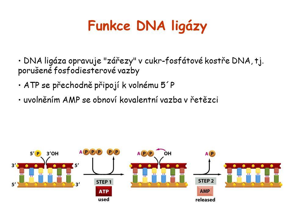 Funkce DNA ligázy DNA ligáza opravuje zářezy v cukr-fosfátové kostře DNA, tj. porušené fosfodiesterové vazby.