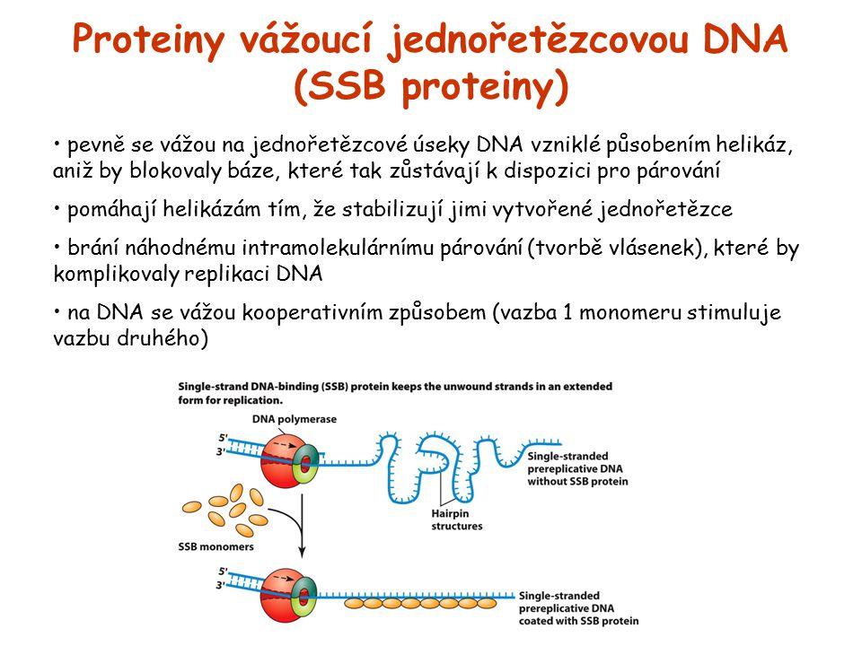 Proteiny vážoucí jednořetězcovou DNA (SSB proteiny)