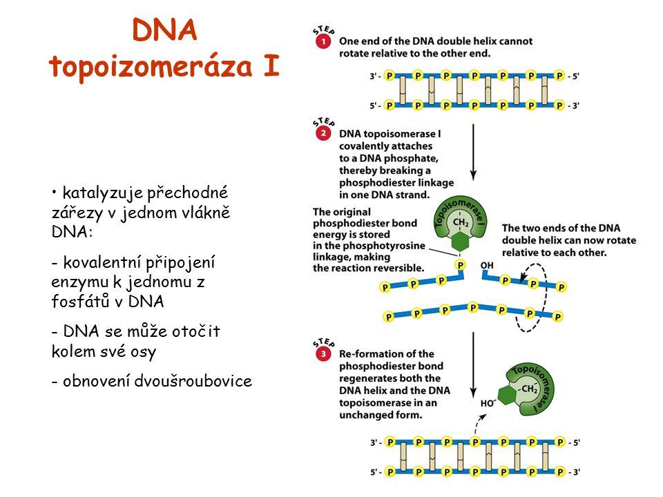 DNA topoizomeráza I katalyzuje přechodné zářezy v jednom vlákně DNA: