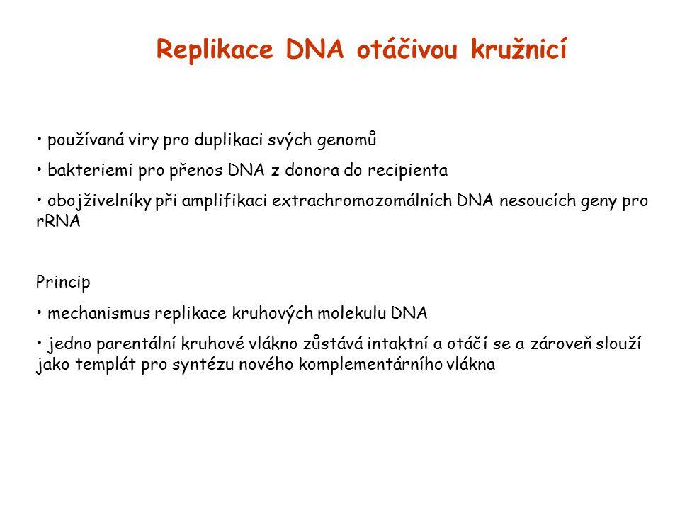 Replikace DNA otáčivou kružnicí