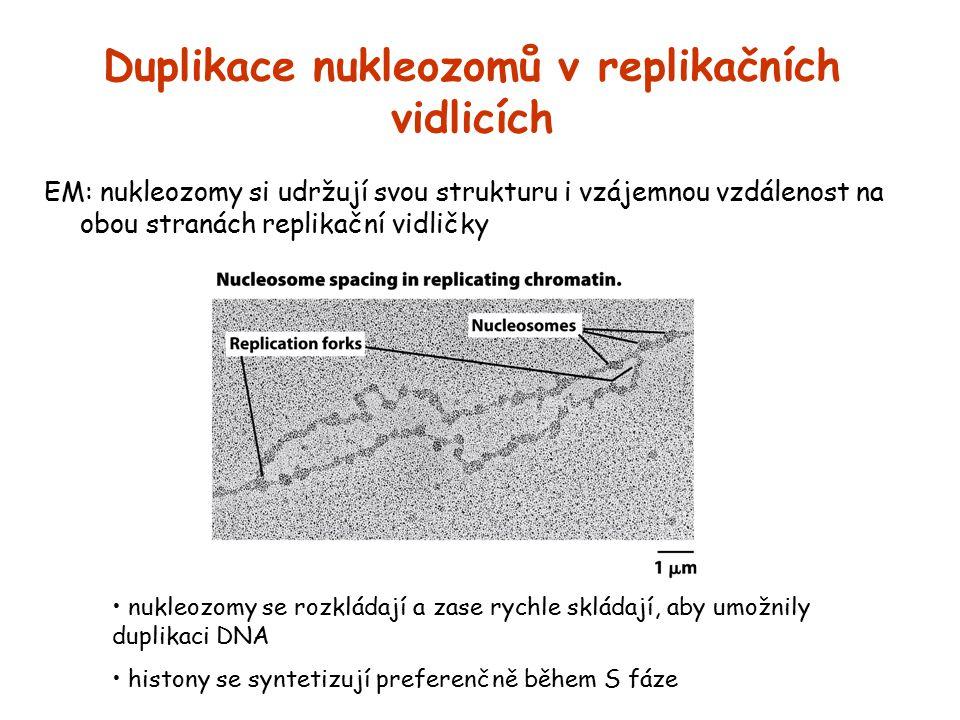 Duplikace nukleozomů v replikačních vidlicích