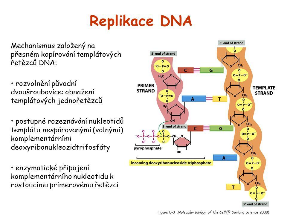 Replikace DNA Mechanismus založený na přesném kopírování templátových řetězců DNA: