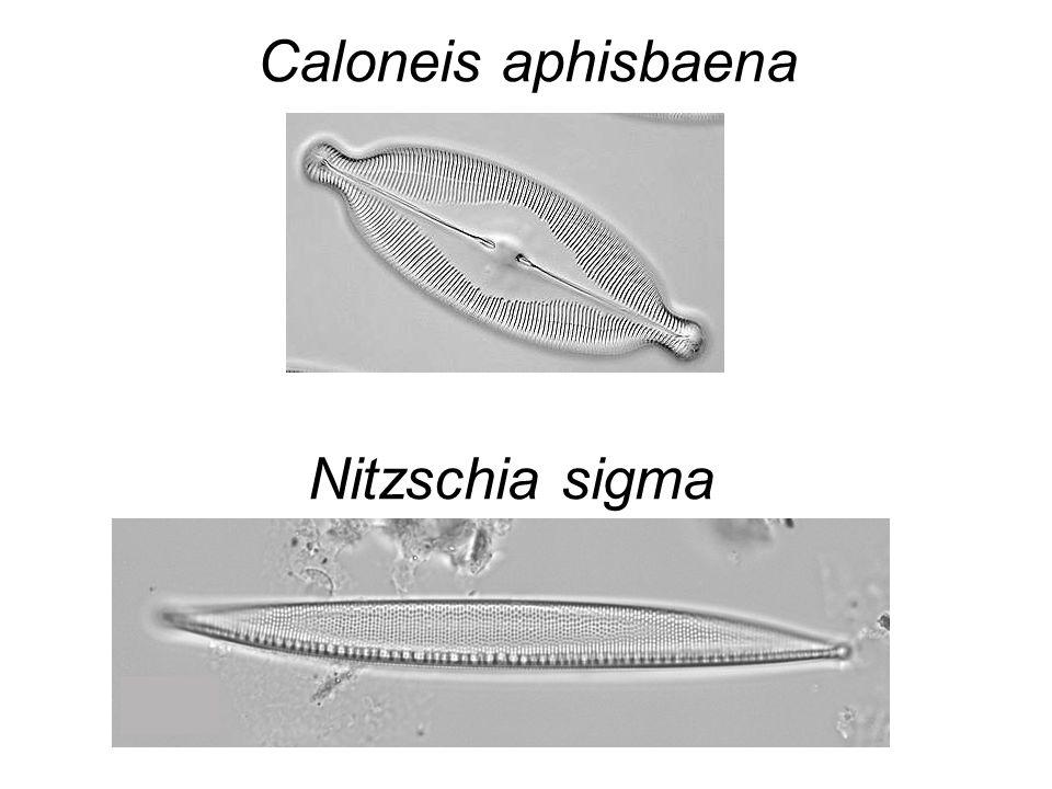 Caloneis aphisbaena Nitzschia sigma