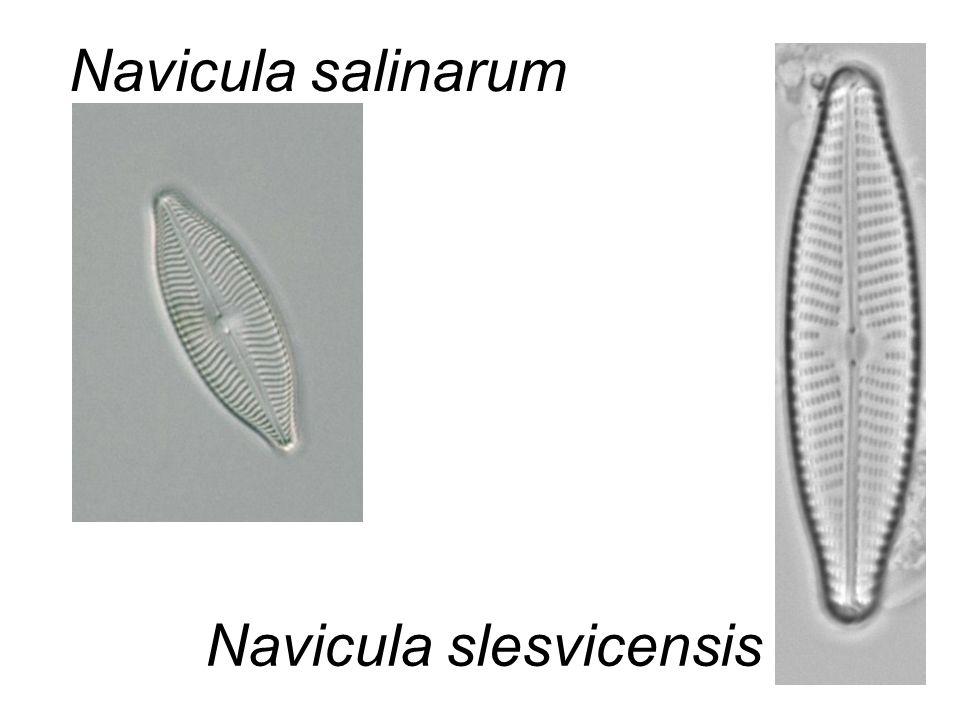Navicula slesvicensis