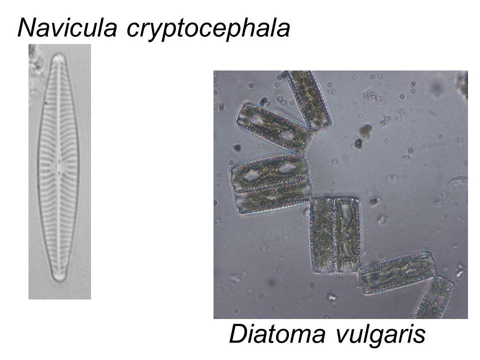 Navicula cryptocephala