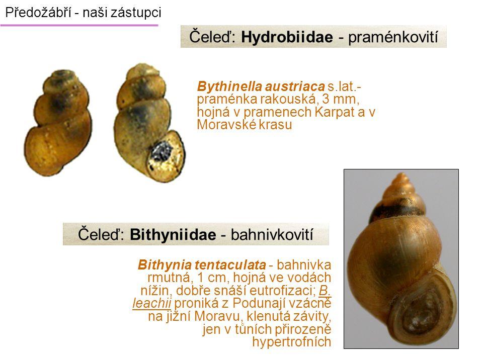Čeleď: Hydrobiidae - praménkovití
