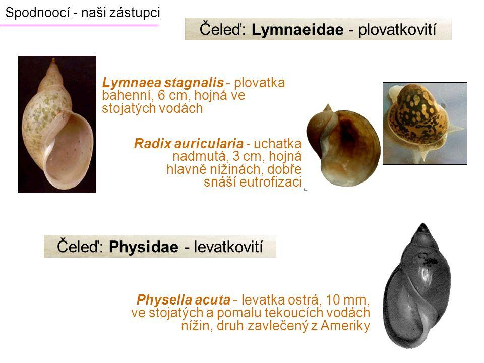 Čeleď: Lymnaeidae - plovatkovití