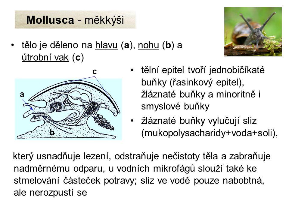 Mollusca - měkkýši tělo je děleno na hlavu (a), nohu (b) a útrobní vak (c)