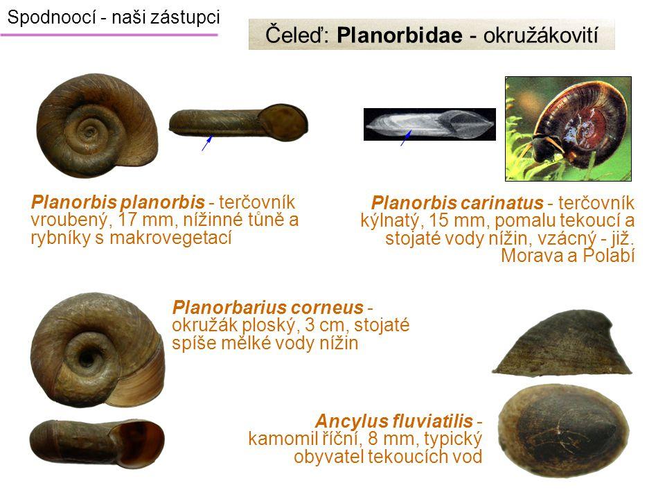 Čeleď: Planorbidae - okružákovití