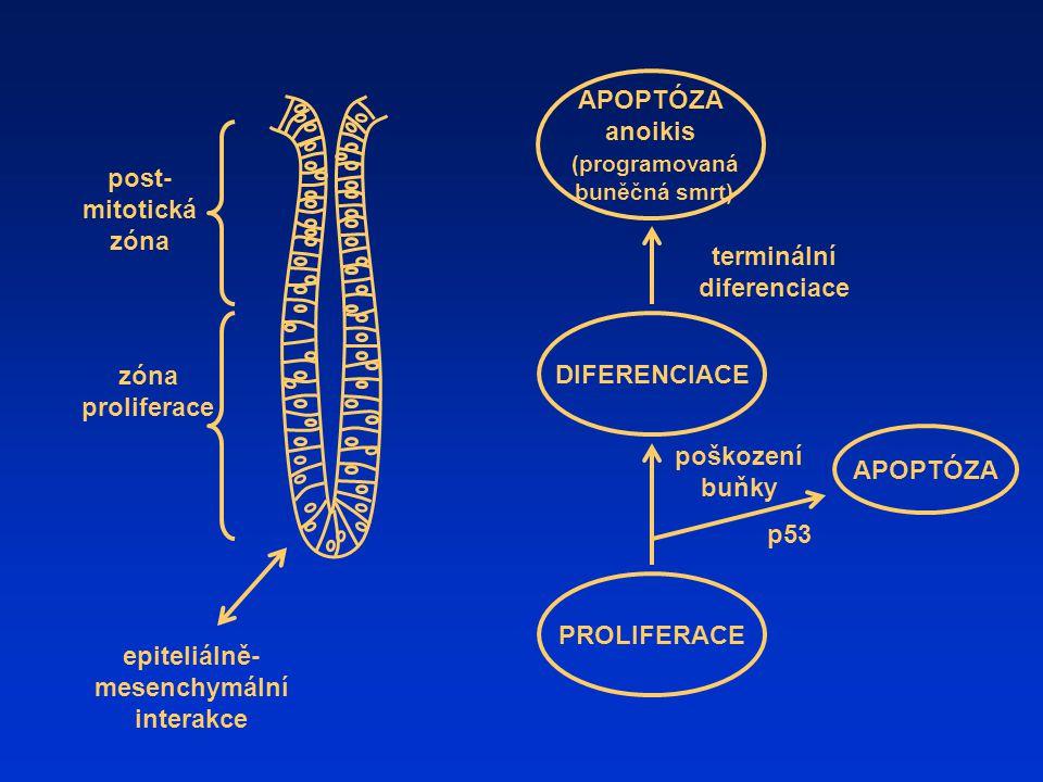 terminální diferenciace epiteliálně-mesenchymální interakce