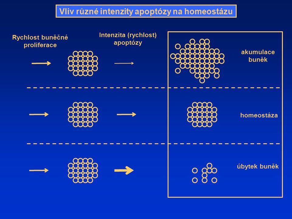 Vliv různé intenzity apoptózy na homeostázu