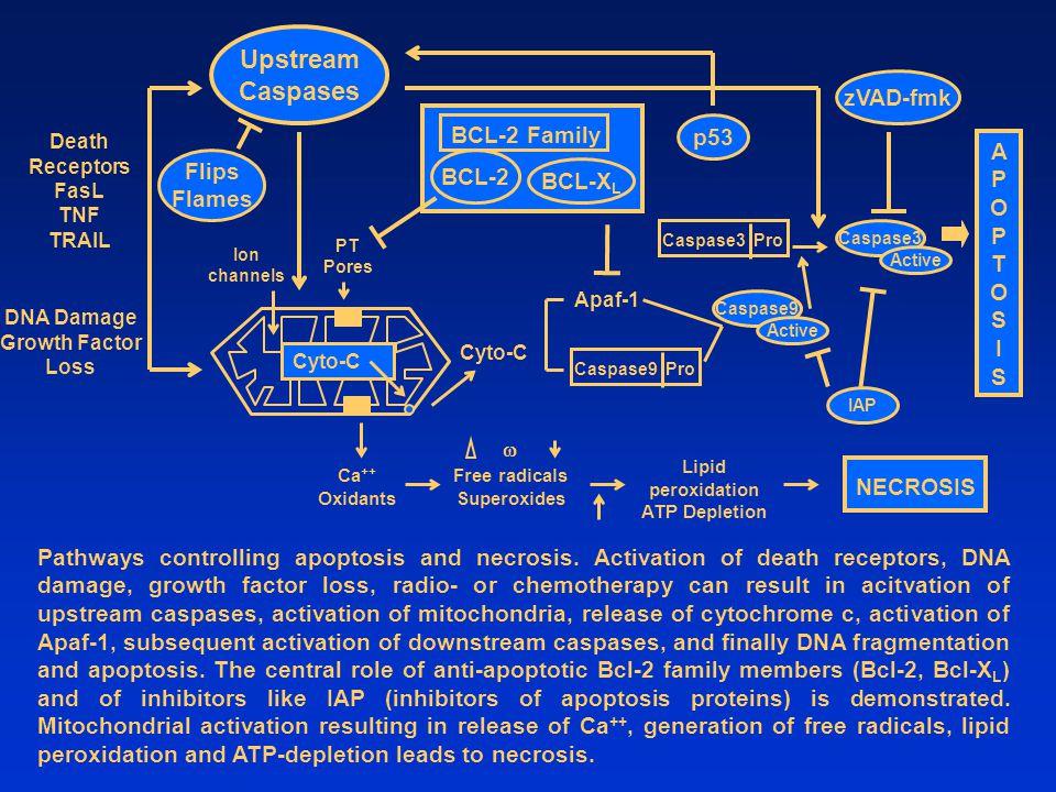 Upstream Caspases zVAD-fmk BCL-2 Family p53 APOPTOS I Flips BCL-2