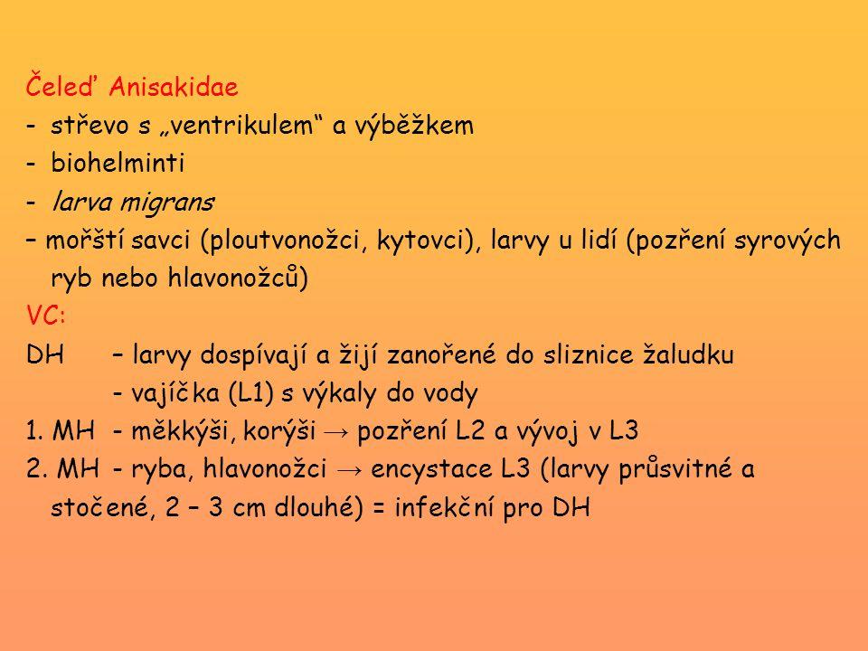 """Čeleď Anisakidae střevo s """"ventrikulem a výběžkem. biohelminti. larva migrans."""