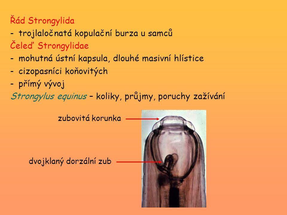trojlaločnatá kopulační burza u samců Čeleď Strongylidae