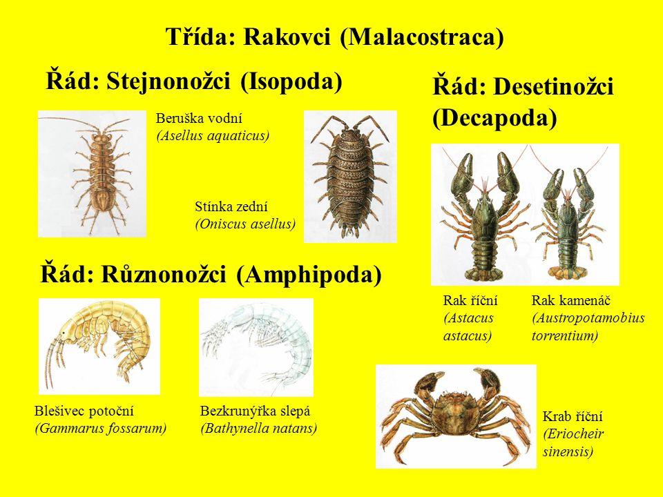 Třída: Rakovci (Malacostraca)