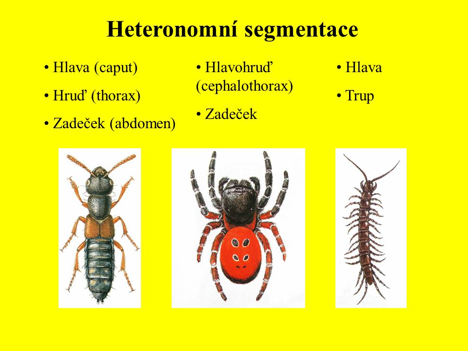 Heteronomní segmentace