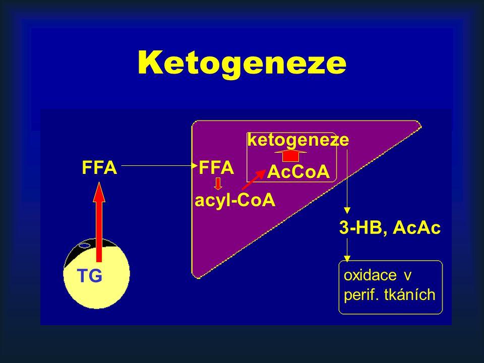 Ketogeneze ketogeneze FFA FFA AcCoA acyl-CoA 3-HB, AcAc TG