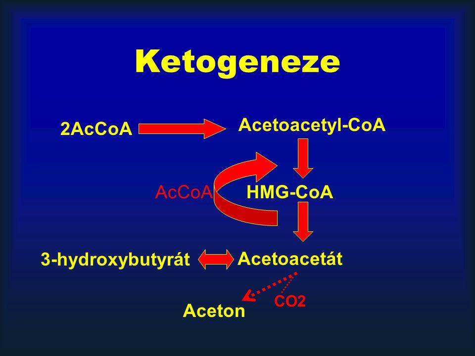 Ketogeneze Acetoacetyl-CoA 2AcCoA AcCoA HMG-CoA 3-hydroxybutyrát
