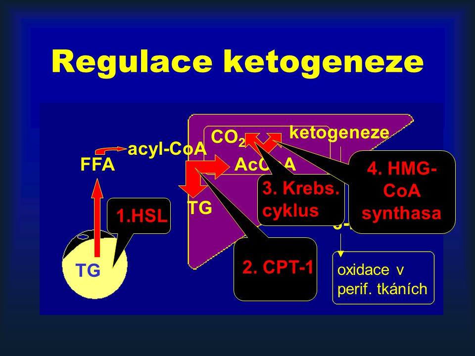 Regulace ketogeneze ketogeneze CO2 acyl-CoA FFA AcCoA