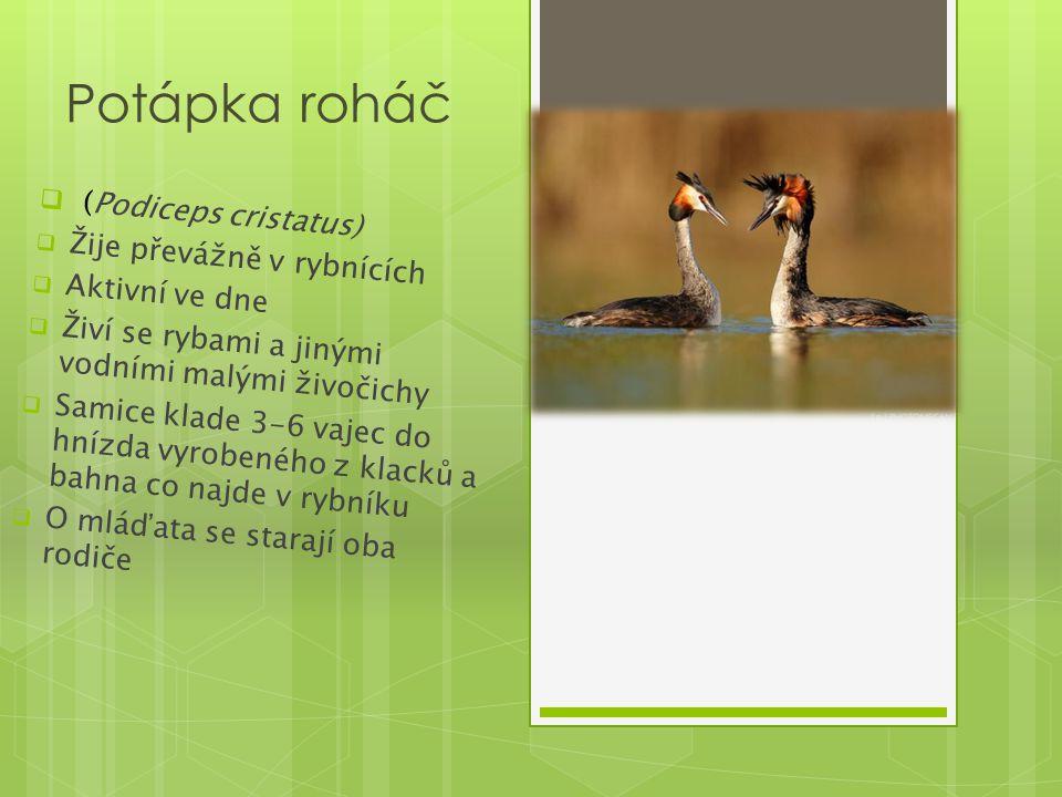 Potápka roháč (Podiceps cristatus) Žije převážně v rybnících