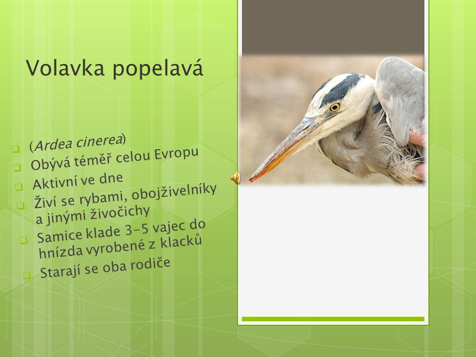 Volavka popelavá (Ardea cinerea) Obývá téměř celou Evropu