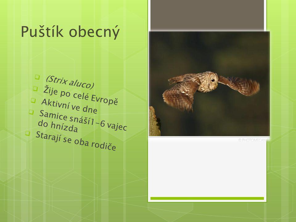 Puštík obecný (Strix aluco) Žije po celé Evropě Aktivní ve dne
