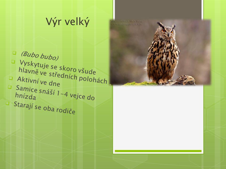 Výr velký (Bubo bubo) Vyskytuje se skoro všude hlavně ve středních polohách. Aktivní ve dne. Samice snáší 1-4 vejce do hnízda.