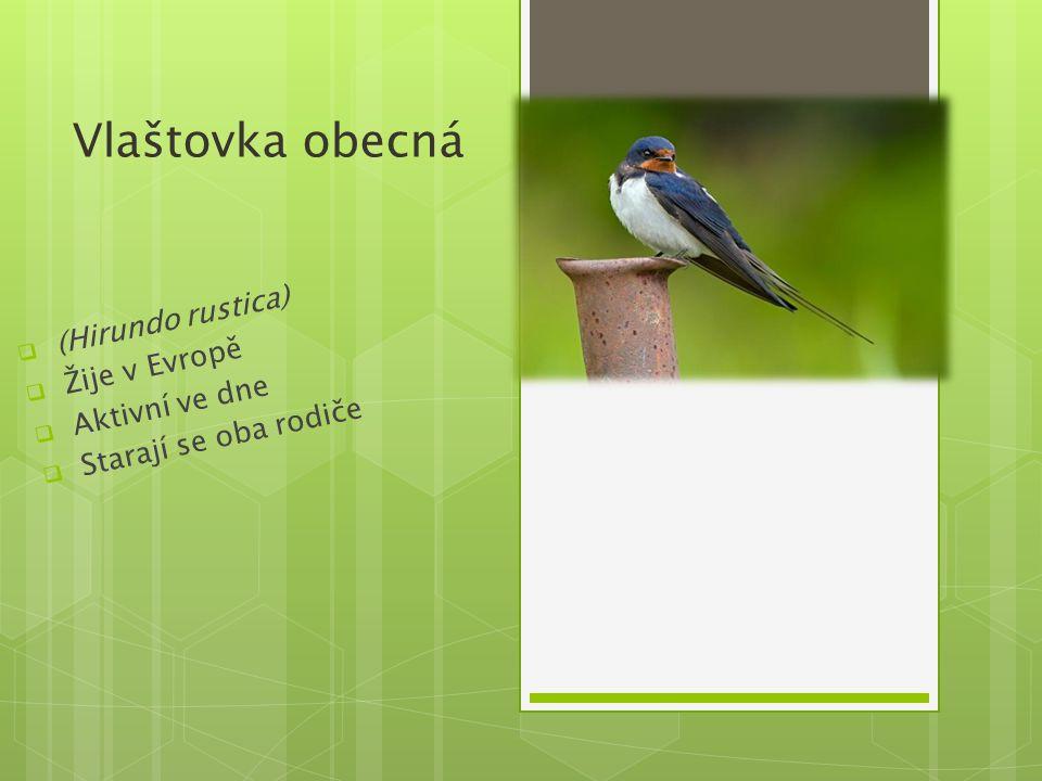 (Hirundo rustica) Žije v Evropě Aktivní ve dne Starají se oba rodiče