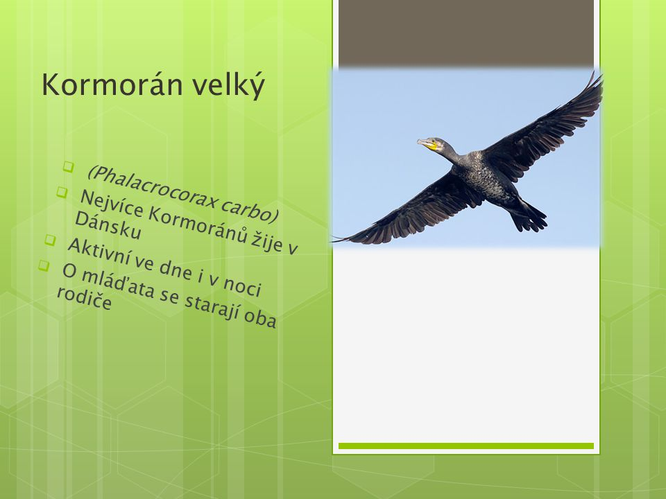 Kormorán velký (Phalacrocorax carbo) Nejvíce Kormoránů žije v Dánsku