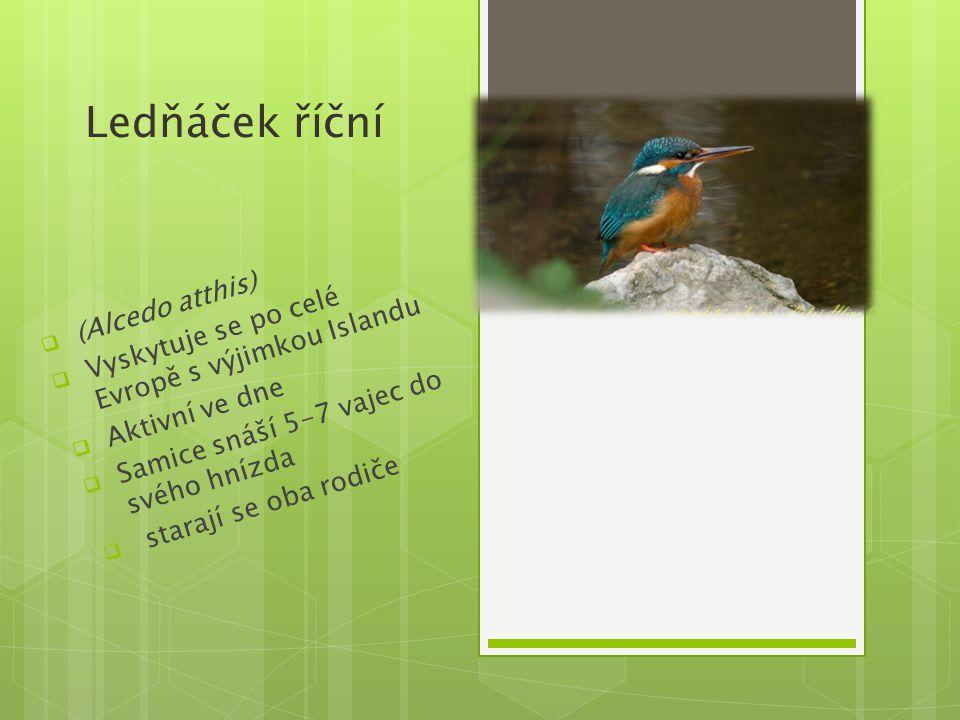 Ledňáček říční (Alcedo atthis)