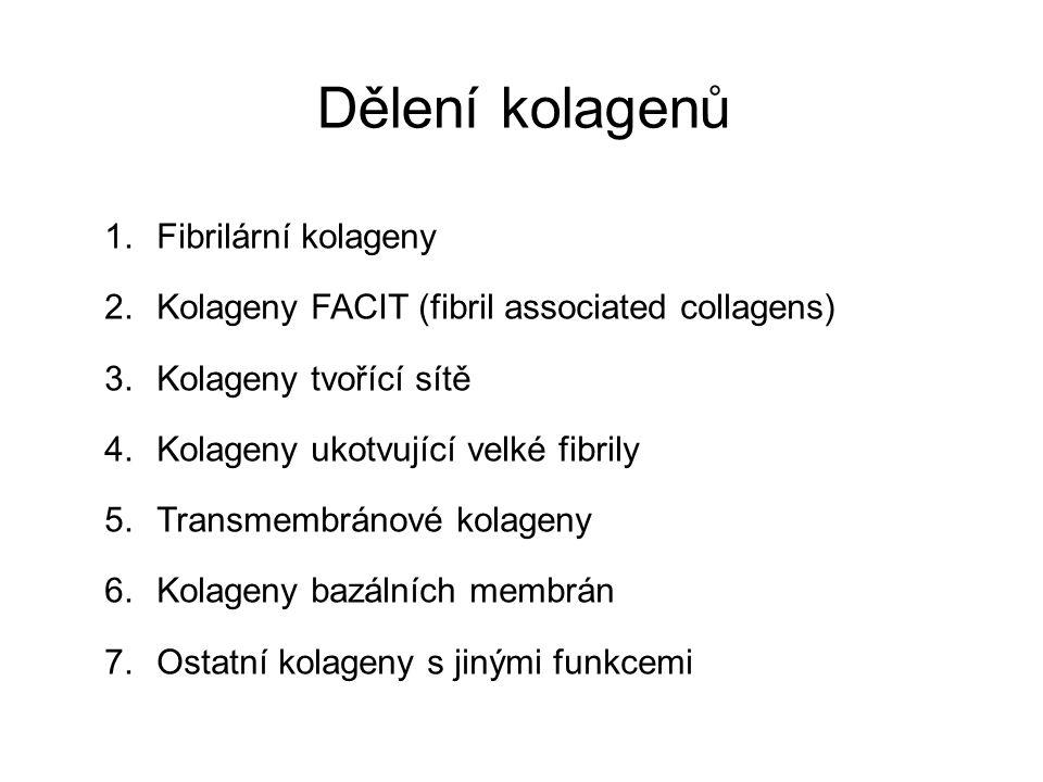 Dělení kolagenů Fibrilární kolageny