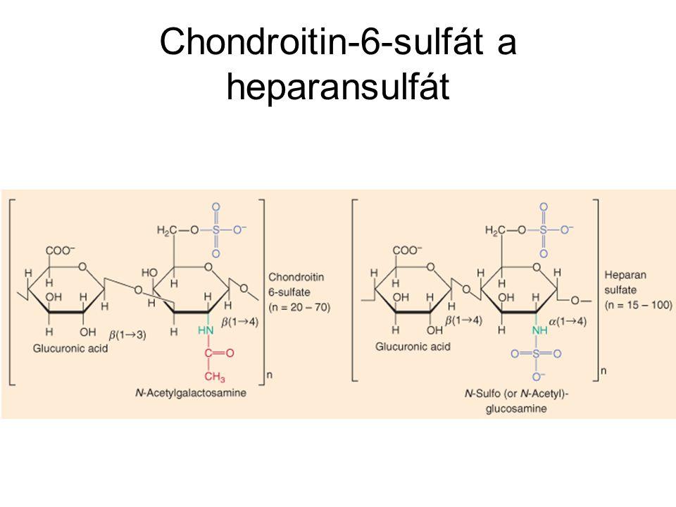 Chondroitin-6-sulfát a heparansulfát