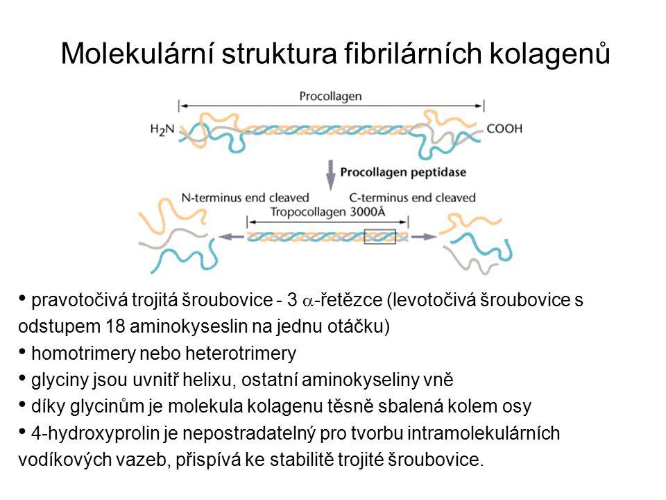 Molekulární struktura fibrilárních kolagenů
