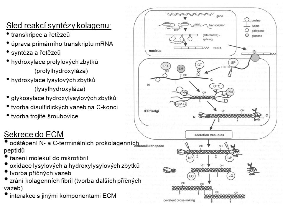 Sled reakcí syntézy kolagenu: