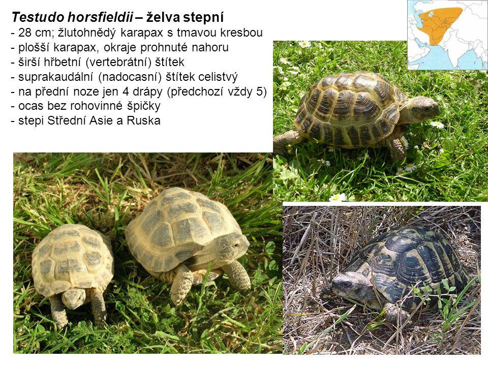 Testudo horsfieldii – želva stepní