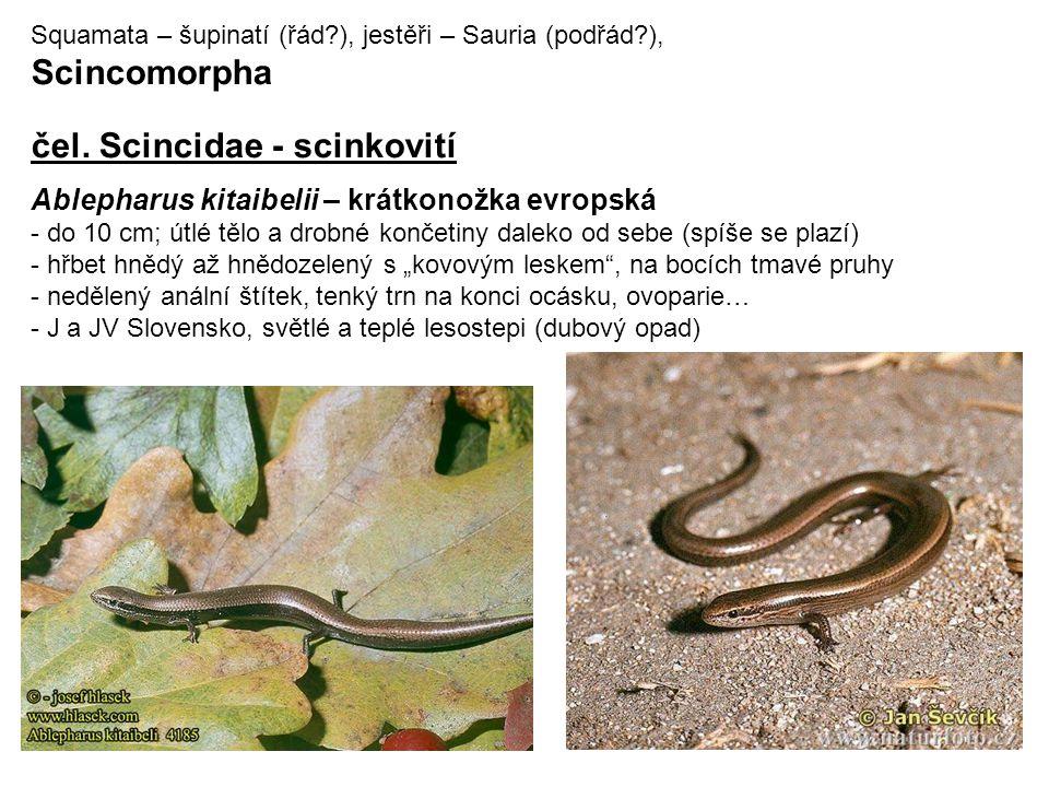 čel. Scincidae - scinkovití