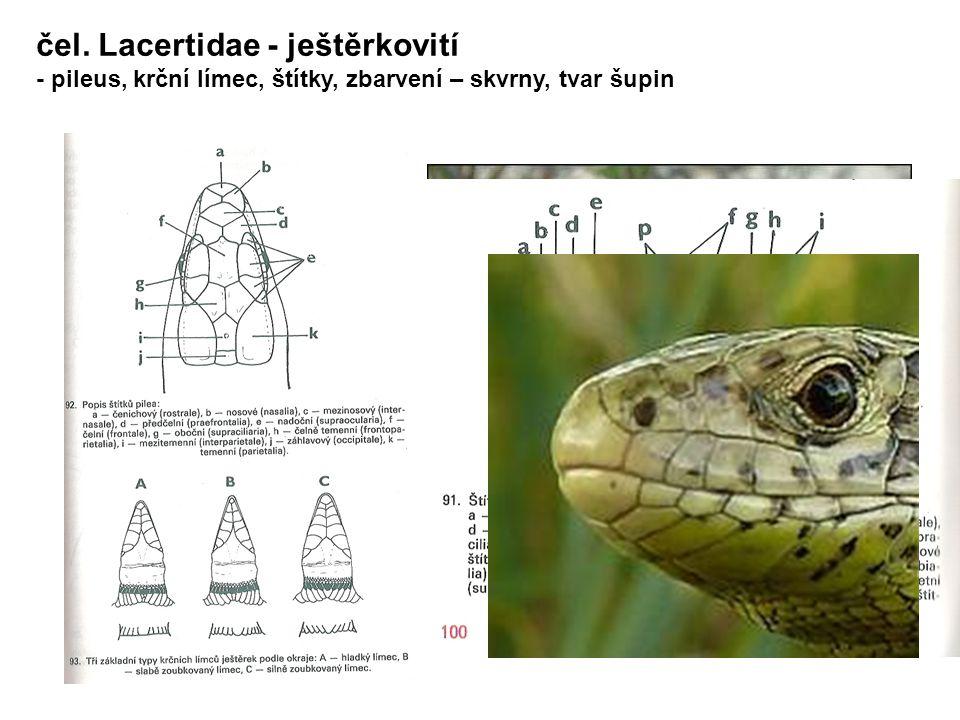 čel. Lacertidae - ještěrkovití